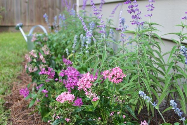 pink pent, purple pent, blue salvia flower bed