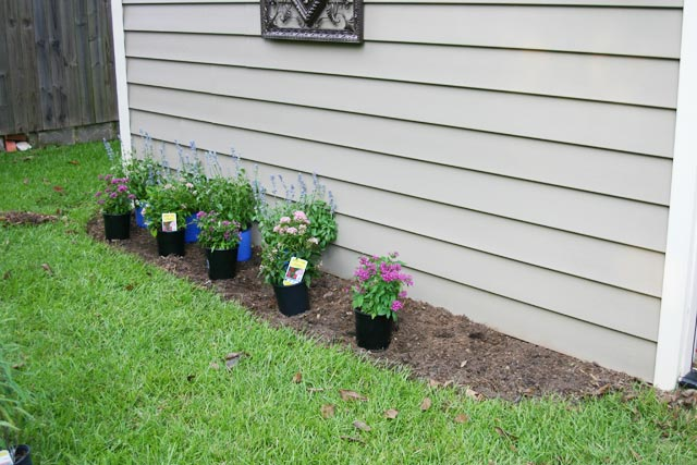Planting Salvia Perennials In A Flower Bed Checking In With Chelsea