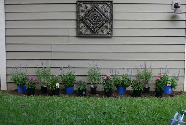 salvia purple blue perennials in flower bed with pink pentas and green grass