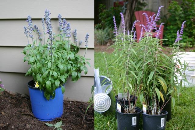Salvia plants side-by-side comparison