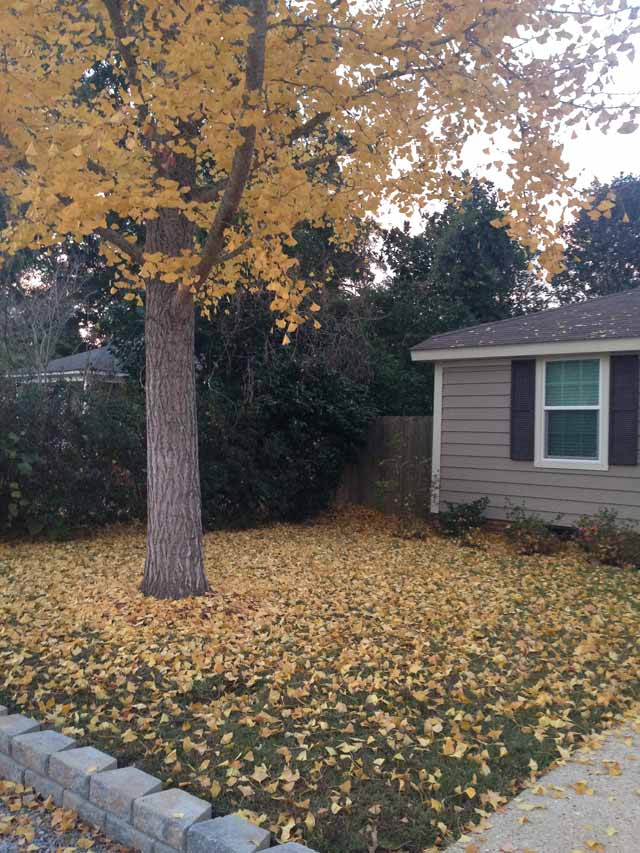 yellow leaves from gingko tree covering green grassy lawn yard