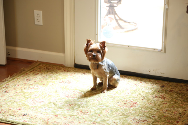 yorkshire terrier sitting in sun ray on rug