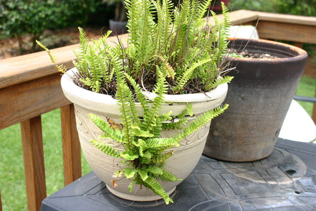 fern growing out of side of plastic pot