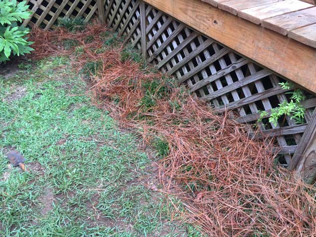 long leaf pine straw covering monkey grass after transplant